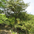 明通寺(福井県小浜市)カヤ