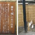 Photos: 11.03.14.浅草神社(台東区)御神木 槐