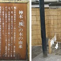 11.03.14.浅草神社(台東区)御神木 槐