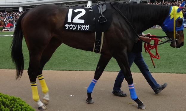 Photos: サウンドガガ(3回中山8日 10R 最強の荒武者 オルフェーヴルカップ(サラブレッド系4歳以上オープン)出走馬)