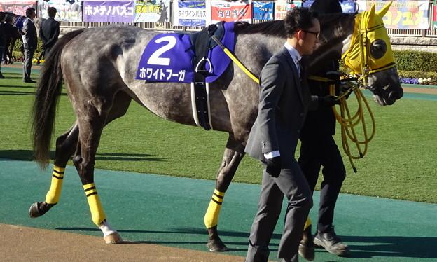 ホワイトフーガ(1回東京8日 11R 第33回 フェブラリーステークス(GI)出走馬)