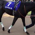 Photos: シャケトラ(5回中山8日 11R 第62回グランプリ 有馬記念(GI)出走馬)