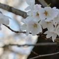 過ぎし日の桜~