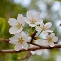 在りし日の桜~