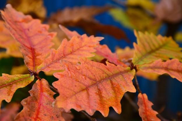 鉢植えドングリの紅葉~