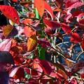 ブルーベリーの紅葉~