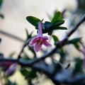 ウグイスカズラの花~