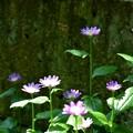 Photos: 塀際に咲くミヤコワスレ~
