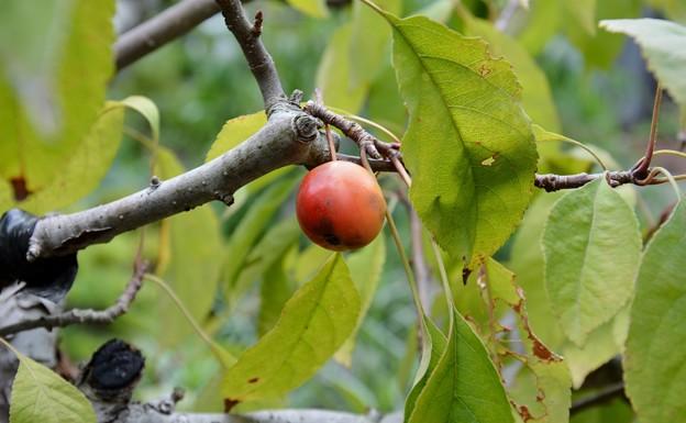 ヒメリンゴ~