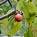 Photos: ヒメリンゴ~