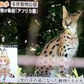 Photos: 生 サーバルちゃん テレビで見れた 食べないよ~(  ̄▽ ̄)