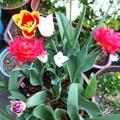 2018.4.3 チューリップが咲きました