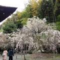 2018.4.7 平野神社
