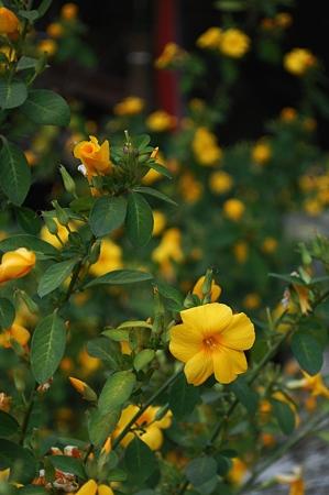 モラエスの花