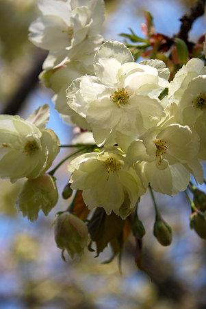 うこんの桜