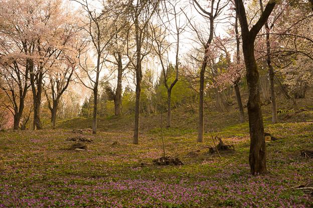 山桜とカタクリ