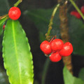 マンリョウの果実