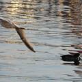 写真: カモの上を飛ぶカモメさん