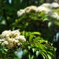 写真: ナナカマドの花