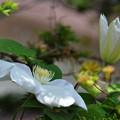 写真: クレマチス~花とつぼみ