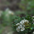 写真: ノイバラの花