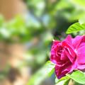 写真: ハマナスの花