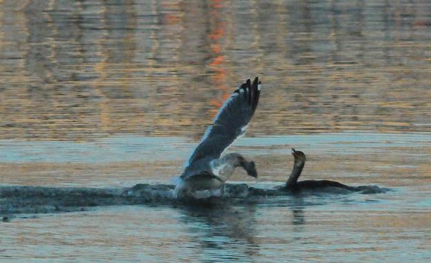 カモメに魚を横取された!!~鵜