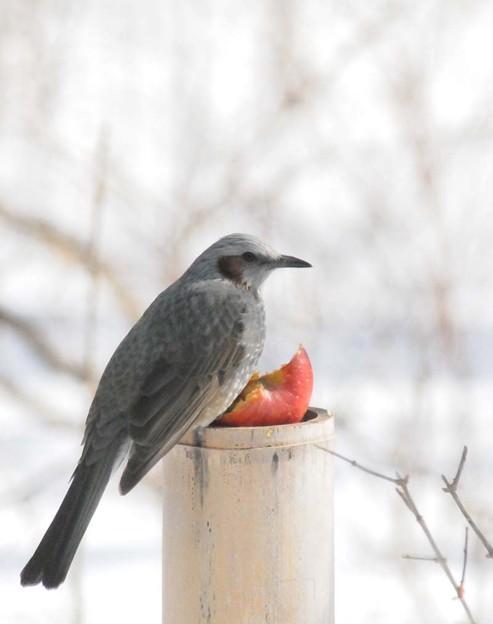 リンゴを食べるヒヨドリ