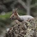 Photos: 木の上のエゾリス