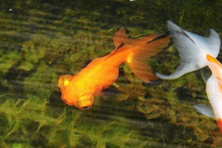 平賀養魚場産
