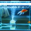 写真: 金魚水槽