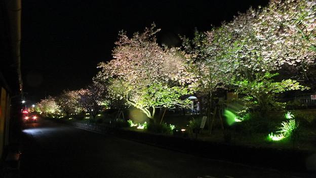 河津 夜桜 2015 4