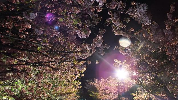 河津 夜桜 2015 5