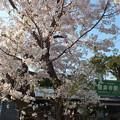 極楽寺駅前の桜2