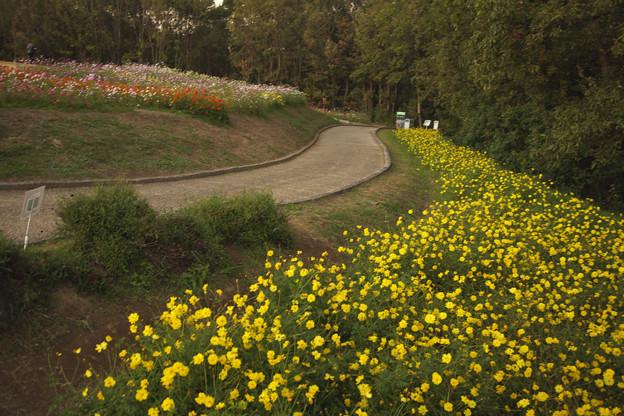 万博記念公園 コスモス 0021