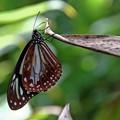 写真: 旅する蝶 アサギマダラ