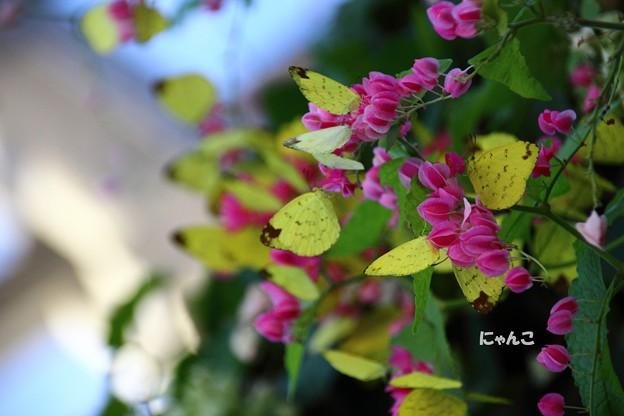 写真: ~蝶の花が咲いている~