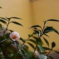 ~Camellia~
