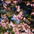 写真: ~桜クルクル~