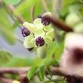 ~アケビの花が咲いたよ♪~