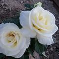 写真: 白いバラ