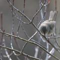 写真: 鶯