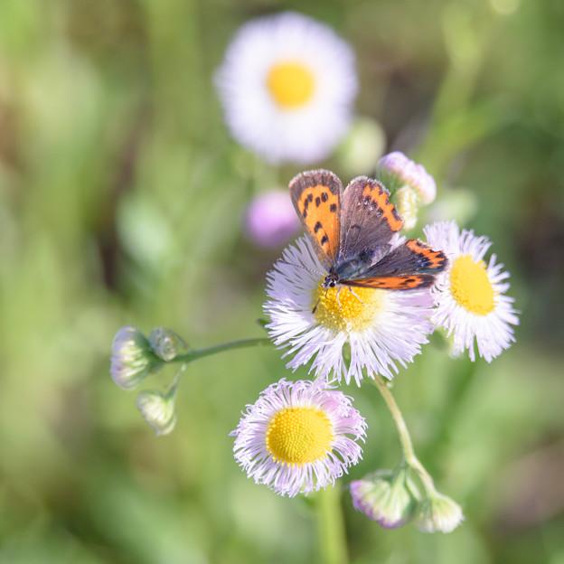 恒例の小さい蝶