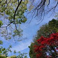 Photos: 春 新緑 大手毬咲く