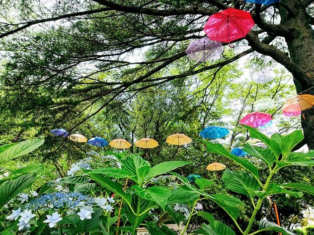 千葉公園 紫陽花とアンブレラ
