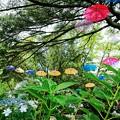 Photos: 千葉公園 紫陽花とアンブレラ