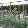 妻の家庭菜園