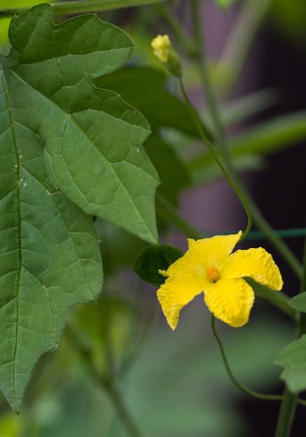 写真: ゴーヤの花