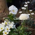 写真: 白い花たち