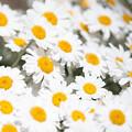 春の彩 マーガレット
